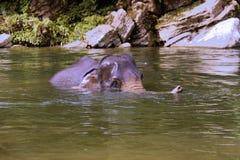 Bathing working elephants, Sumatra, Indonesia royalty free stock photography