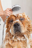 Bathroom to a dog chow chow Stock Photography