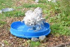 Bathtime斯诺伊猫头鹰 库存图片