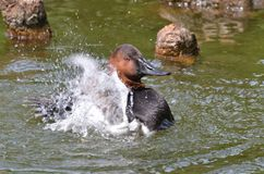 Bathtime del Canvasback Fotografia Stock Libera da Diritti
