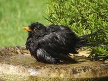 Bathtime del merlo Fotografie Stock Libere da Diritti