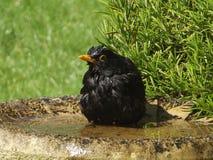 Bathtime del merlo Immagini Stock