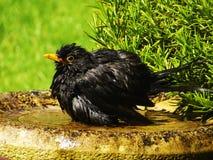 Bathtime del merlo Fotografia Stock Libera da Diritti