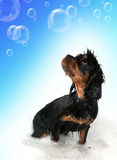 Bathtime fun. Marmaduke the black and tan King Charles Cavalier puppy takes a bath. Floating bubble background with space for your text Stock Image