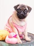 Bathtime para um filhote de cachorro do Pug na cor-de-rosa Fotografia de Stock