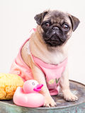 Bathtime for a Pug Puppy in Pink Fotografía de archivo