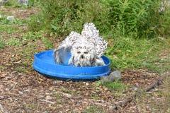 Bathtime-Schneeeule Stockfoto