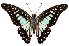 Bathycles Graphium вида бабочки Стоковое Фото