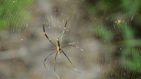 Batik golden spider crawling on net waiting for victims in forest. Batik golden spider crawling on net waiting for victims in the forest stock footage