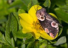 Batis de Thyatria de rose de scoop de papillon de nuit Photos stock