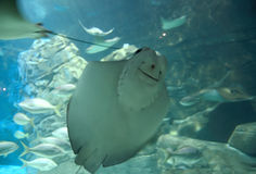 Batoidea face. Close up of a batoidea face while swimming with other batoideas and fishes in a fishkeeper tank of an aquarium stock images