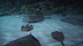 Batoidea is superorder van kraakbeenachtige die vissen algemeen als de lengtevideo van de stralenvoorraad worden bekend stock videobeelden