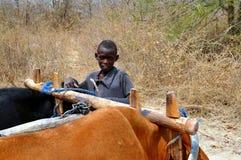 Batonka男孩&黄牛推车,北部的Gokwe,津巴布韦 免版税库存图片