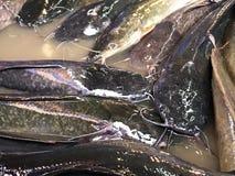 Batrachus clarias Wels der Nahaufnahme gehende Frischwasserfische stockfotos