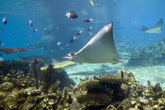 BatReef. Spotted Eagle-rays (Aetobatus narinari) swimming over coral reef Royalty Free Stock Photo