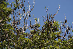 Bats. Resting on a tree during the day stock photography