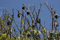 Bats. Resting on a tree during the day royalty free stock photo
