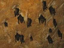 Bats. Cave ceiling with bats (Malaysia Stock Image
