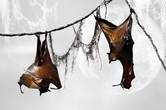 Bats. Two very large fruit bats hanging from a vine with a moon in the background royalty free stock photo