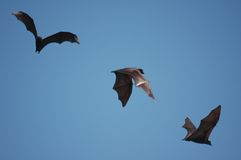 Bats. Flying bats royalty free stock image