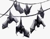 Bats. Halloween theme, flock of bats hanging on vines Royalty Free Stock Photo