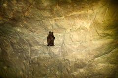 Bats as inhabitants of caves and dungeons. Daubenton's Bat (Myotis daubentoni), water bat in state of hibernation in mine tunnel Stock Photo