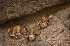Bats Clinging to A Stone Wall Royalty Free Stock Images