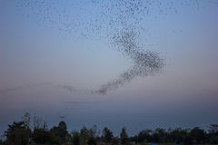 Bats colony. Flying out from cave at night Stock Photography