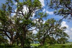 Bats colony hanging on high trees, Sri Lanka Royalty Free Stock Photography