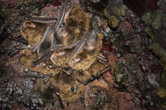 Bats - Common noctule - Nyctalus noctula. In cave royalty free stock photo