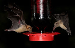 Bats At A Feeder Stock Photography