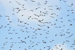 Bats flaying in the blue sky. A lot of bats flaying in the blue sky Royalty Free Stock Photo