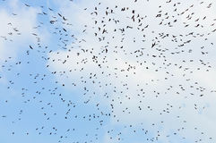 Bats flaying in the blue sky. A lot of bats flaying in the blue sky Stock Photo