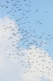 Bats flaying in the blue sky. A lot of bats flaying in the blue sky Stock Photos