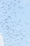 Bats flaying in the blue sky. A lot of bats flaying in the blue sky Royalty Free Stock Images
