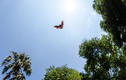 Bats in flight Royalty Free Stock Photography