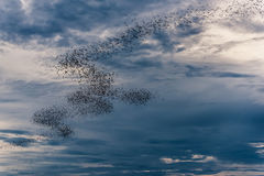 The bats fly out in the evening. Royalty Free Stock Images