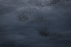 The bats fly out in the evening. Stock Photos