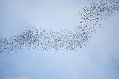 Bats flying in gunung mulu national park. Borneo malaysia Stock Photography