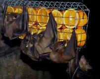 Bats(Chiroptera) Royalty Free Stock Photo