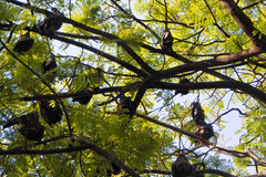 Bats hanging down from branches of tree Stock Photo