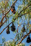 Bats hanging from gum tree in Katherine, Australia Stock Images