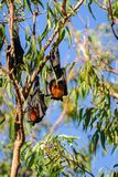 Bats hanging in a gum tree at Katherine Gorge, Australia Stock Image