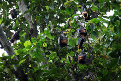 Bats hanging from tree Royalty Free Stock Photo