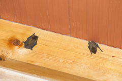 Bats hanging on wooden beam Stock Images