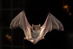Bats Stock Photo