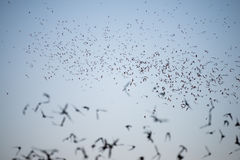 Bats Leaving a South Texas Cave Stock Images