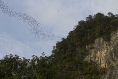 Bats in Mulu NP Royalty Free Stock Photos