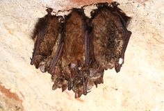 Bats sleeping Royalty Free Stock Images