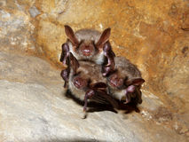 Bats sleeping in a cave Royalty Free Stock Images